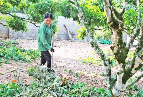 Kỹ thuật chăm sóc cây vải sau thu hoạch